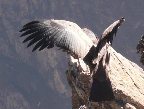 Envol de condor Pérou