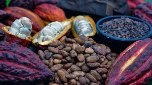 cacaocrop